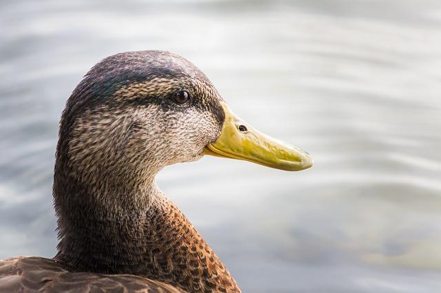 duck-684328_640_mini