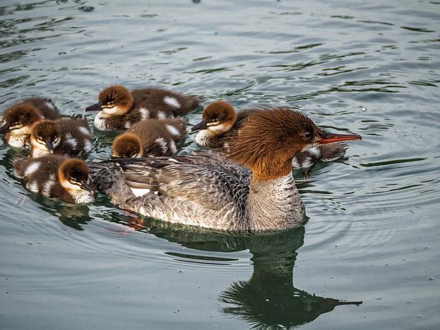 ducks-960906_640_mini